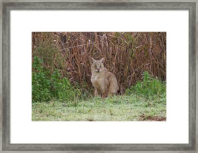 Jungle Cat (felis Chaus) In The Wild Framed Print by Photostock-israel