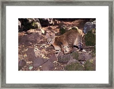 Jungle Cat (felis Chaus Framed Print