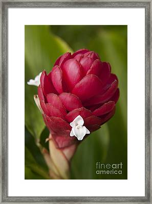 Jungle King Ginger- Red Framed Print by Sharon Mau
