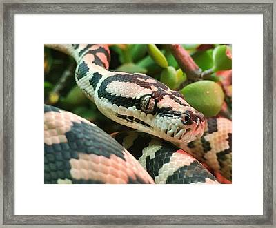 Jungle Python Framed Print by Kelly Jade King