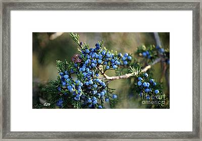 Juniper Berries Framed Print