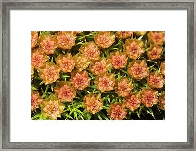Juniper-leaved Hair Moss Abstract Framed Print