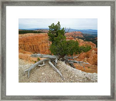 Juniper Tree Clings To The Canyon Edge Framed Print