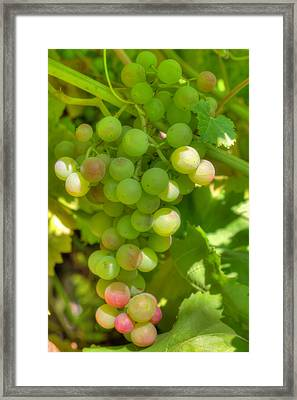 Just A Little More Time On The Vine Framed Print