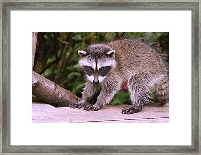 Just A New Fuzzy Little Feller Framed Print by Kym Backland
