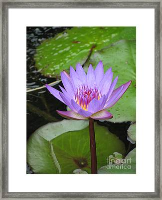 Just A Water Lily  Framed Print