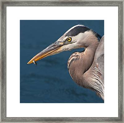 Just An Appetizer For A Great Blue Heron Framed Print by Kasandra Sproson