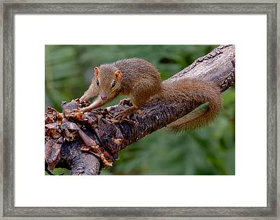Just Checking If Alright For Squirrel Consumption Framed Print by Donald Rumsey