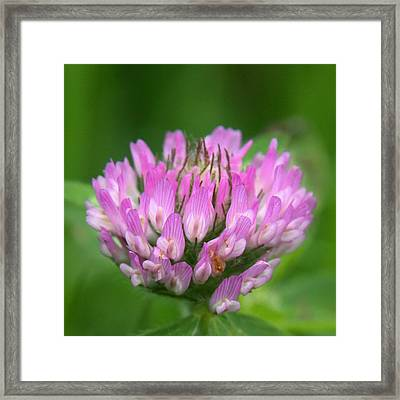 Just Clover Framed Print