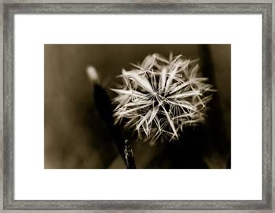 Just Dandy Dandelion Framed Print by Isabel Laurent