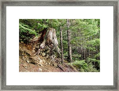 Just Hanging On Old Growth Forest Stump Framed Print by Roxy Hurtubise