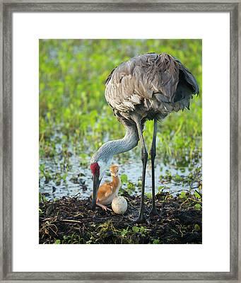 Just Hatched, Sandhill Crane Rotating Framed Print by Maresa Pryor