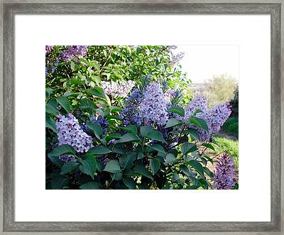 Just Lilac Framed Print by Dorothy Berry-Lound