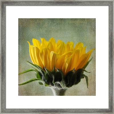 Just Opening Sunflower Framed Print