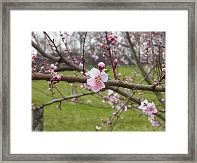 Just Peachy 3 Framed Print