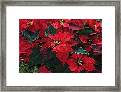 Just Poinsettia's Framed Print by Geraldine Alexander