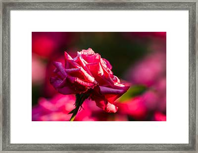 Just The Rose - Featured 3 Framed Print by Alexander Senin