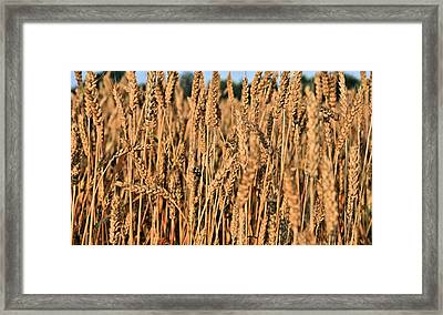 Just Wheat  Framed Print by JC Findley