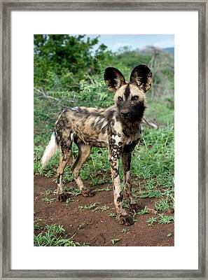 Juvenile African Hunting Dog Framed Print by Tony Camacho/science Photo Library