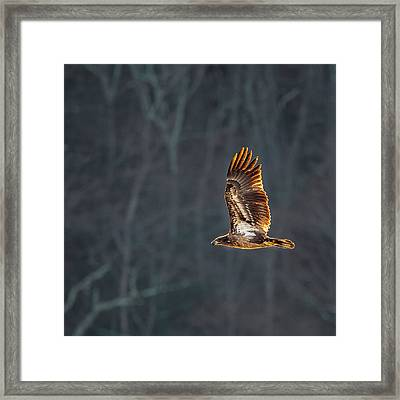 Juvenile American Bald Eagle Square Framed Print by Bill Wakeley