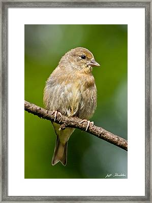 Juvenile American Goldfinch Framed Print
