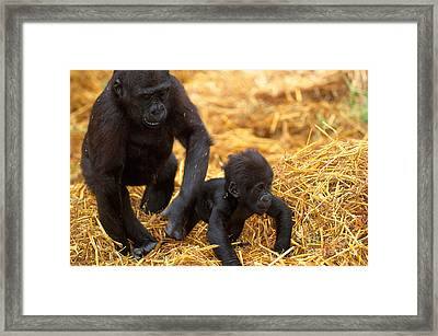 Juvenile And Baby Lowland Gorillas Framed Print by Art Wolfe