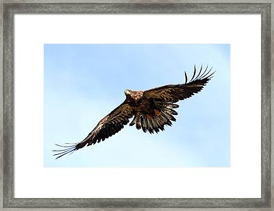 Juvenile Bald Eagle Framed Print