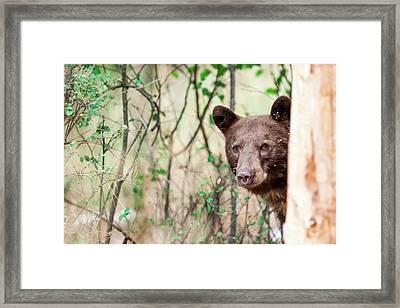 Juvenile Black Bear Portrait, Missoula Framed Print