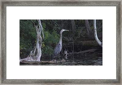 Juvenile Blue Heron At Manistee National Park Framed Print by Rosemarie E Seppala