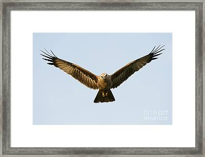 Juvenile Brahminy Kite Hovering Framed Print by Tim Gainey