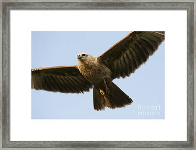 Juvenile Brahminy Kite Framed Print by Tim Gainey