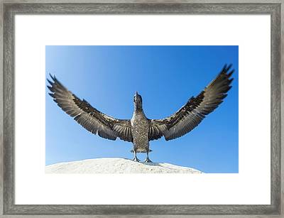 Juvenile Cape Gannet Flapping Its Wings Framed Print by Peter Chadwick