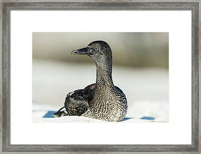 Juvenile Cape Gannet Framed Print by Peter Chadwick