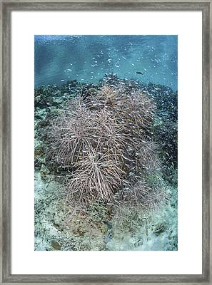 Juvenile Fish Swarm Around A Coral Framed Print