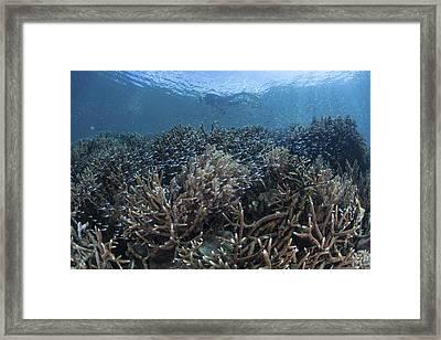 Juvenile Fish Swim Above A Slope Framed Print