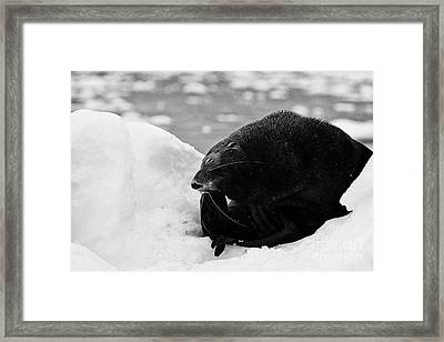 Juvenile Fur Seal Scratching Head With Flipper Feigning Boredome Defensive Behaviour Floating On Ice Framed Print by Joe Fox