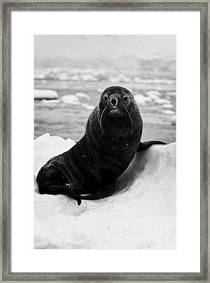juvenile fur seal sirtting up looking to camera  floating on iceberg in Fournier Bay Antarctica Framed Print by Joe Fox