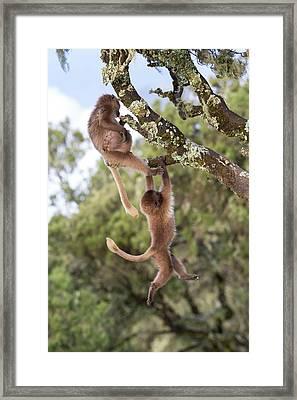 Juvenile Gelada Baboons At Play Framed Print by Peter J. Raymond