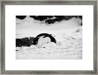 juvenile gentoo penguin Pygoscelis papua rolling picking up ball of snow at Neko Harbour arctowski p Framed Print by Joe Fox
