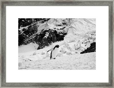 juvenile gentoo penguin with wings outstretched walking uphill Neko Harbour Antarctic mainland Antar Framed Print by Joe Fox