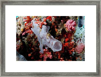 Juvenile Giant Frogfish On Reef Framed Print by Scubazoo