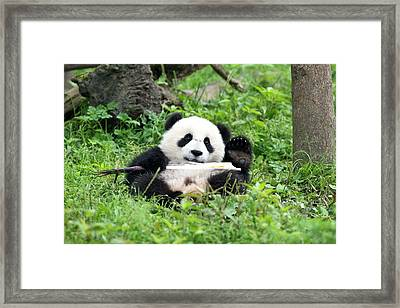Juvenile Giant Panda Eating Bamboo Framed Print