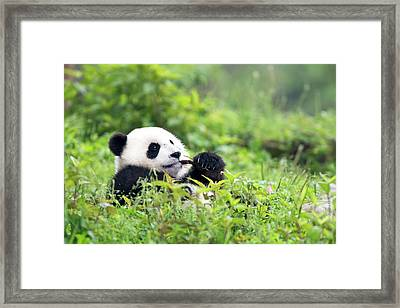 Juvenile Giant Panda Feeding Framed Print by Tony Camacho