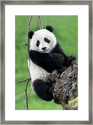 Juvenile Giant Panda Framed Print by Tony Camacho