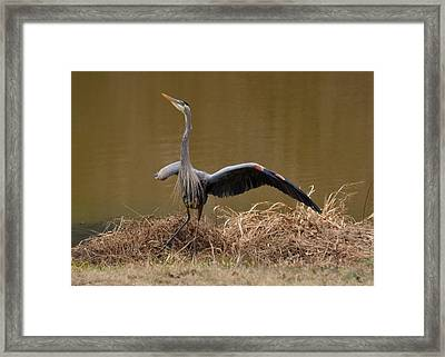 Juvenile Great Blue Heron Alerting Skyward - 9952a Framed Print by Paul Lyndon Phillips