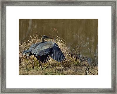 Juvenile Great Blue Heron Folding His Wings - 9773e Framed Print by Paul Lyndon Phillips
