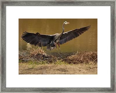 Juvenile Great Blue Heron Gliding Down - 9945h Framed Print by Paul Lyndon Phillips
