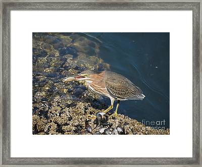 Framed Print featuring the photograph Juvenile Green Heron by Gayle Swigart