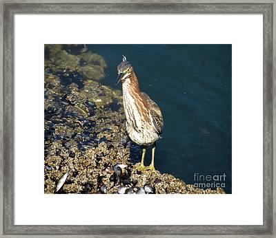 Juvenile Green Heron II Framed Print by Gayle Swigart