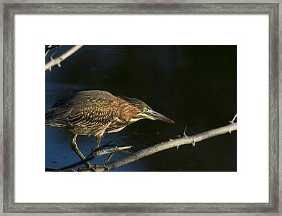Juvenile Green Heron Framed Print